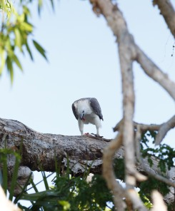 Sea Eagle having Barramundi for brekky